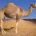 Arabian-Camel
