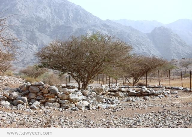 """""""السمر"""" شجرة الفوائد … مطالب بحمايتها حفاظاً على الموروث البيئي – صور"""