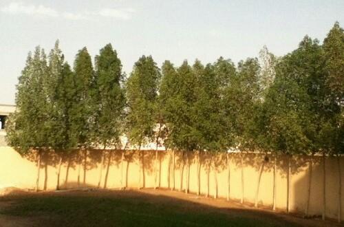 بلدية الفجيرة تحذّر من زراعة شجرة الداماس في المنازل واستبدالها بأشجار محلية اخرى