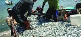 «الضغوة».. تحالف الرجال والبحر .. طريقة صيد تقليدية ومشهد اجتماعي اقتصادي رائحته سمك