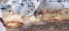 مصارعة الثيران بالفجيرة معركة بلا دم