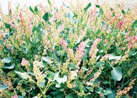 الحميض . . نبات شعبي يحمله المطر