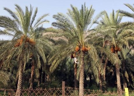 «القيظ» موسم خير النخيل وجني الرطب عادة يحييها أهل الإمارات منذ القدم
